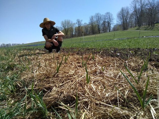 checking the tiny first garlic crop, 2018